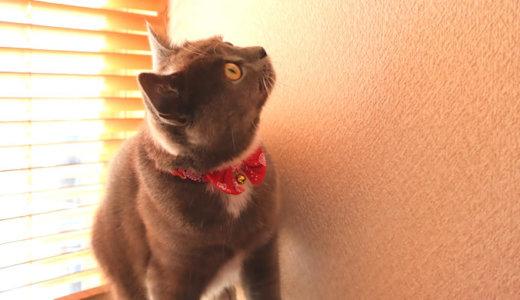 ブラインドから入る光を見てクラッキングする猫