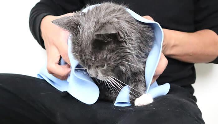 吸水タオルで拭かれる猫