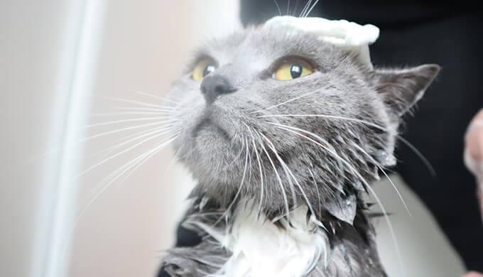 大人しくお風呂に入る猫