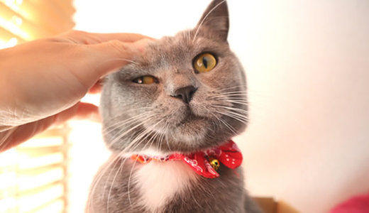猫のお腹はブラッシングできるのか!?|ブリティッシュショートヘア