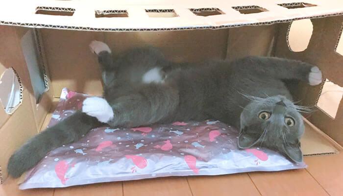 ダンボールハウスでくつろぐ猫