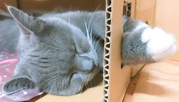 ダンボールハウスの穴から靴下の手を出す猫