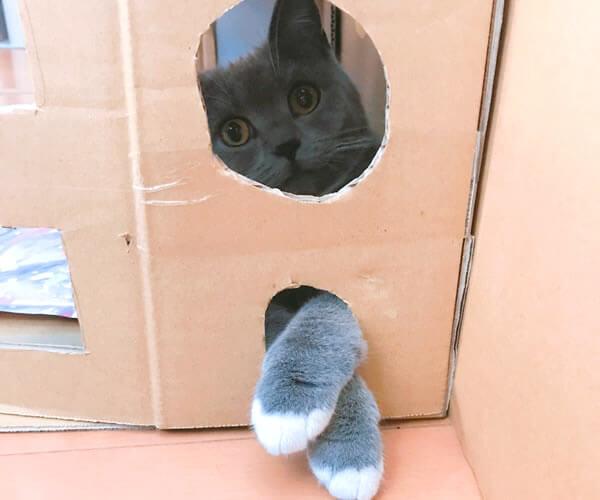 ダンボールハウスの穴から手を出す猫