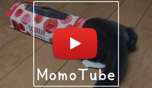 【動画】水ヨーヨーと遊ぶ猫|Momo Tube(モモチューブ)