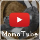 猫のモモ-動画-MomoTube モモチューブ