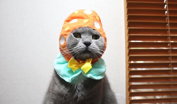 猫のかぶりものを被ったブリティッシュショートヘアのモモ