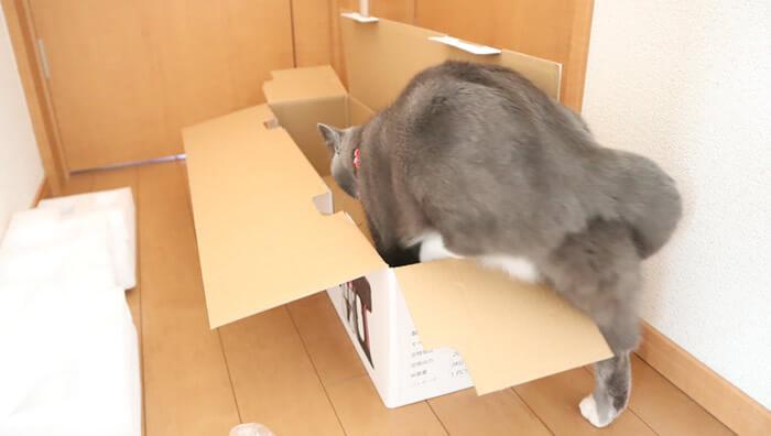 ダンボールに入ろうとする猫のモモ