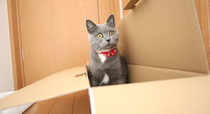 ダンボールに入る猫のモモ