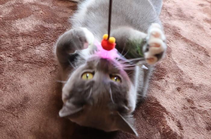 カシャぶんで遊ぶ猫のモモ