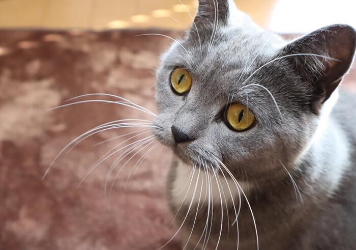 獲物を狙ってヒゲが前になる猫のモモ
