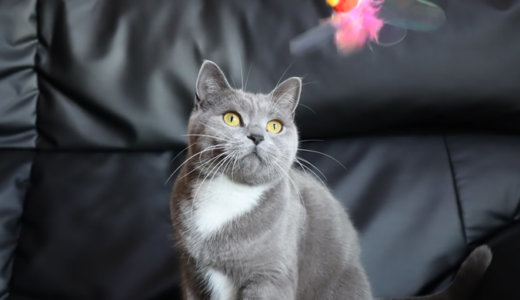 大好きな猫のおもちゃカシャぶん(カシャカシャぶんぶん)で大はしゃぎ!