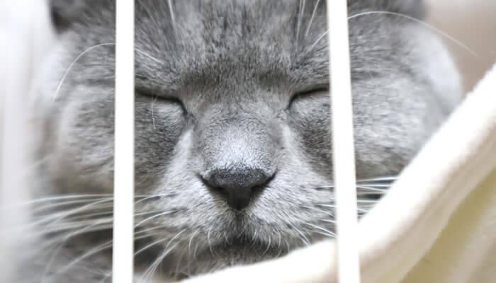 ケージのハンモックで寝るドアップ写真の猫