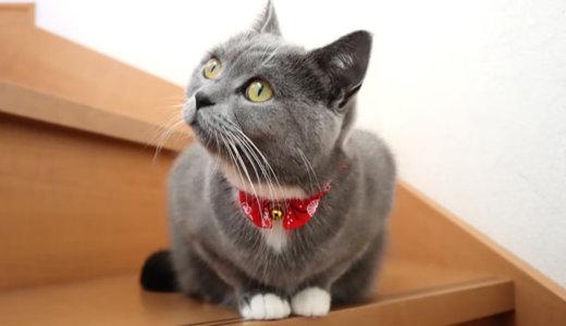 靴下猫の白い足が可愛い|ブリティッシュショートヘア