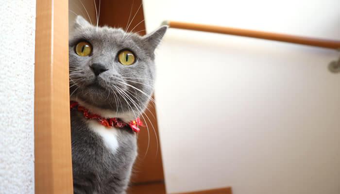 驚いてイカ耳になる猫のモモ
