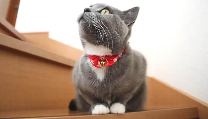 靴下猫のブリティッシュショートヘアのモモ