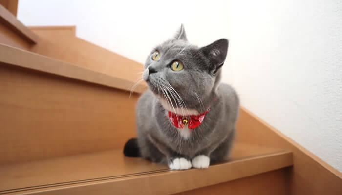 ブリティッシュショートヘアの猫のモモ