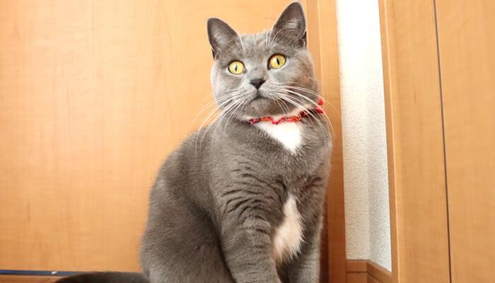飼い主を見つめてくる猫モモ