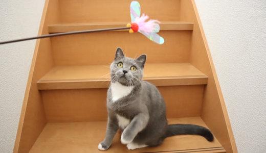 猫の運動不足解消に階段で遊んでみると…|ブリティッシュショートヘア