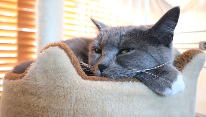 キャットタワーのベッドで寝る猫のモモ