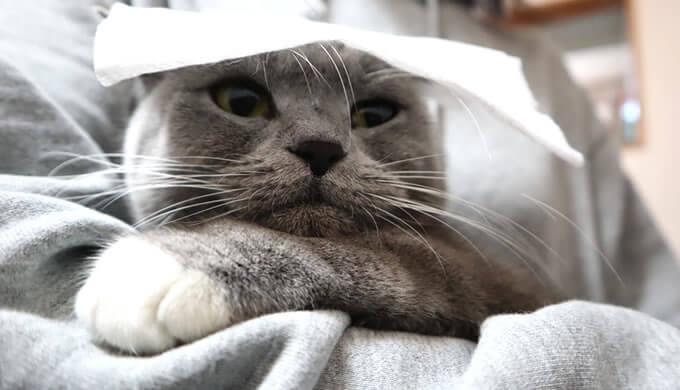 シャンプータオルを嫌がる猫のモモ