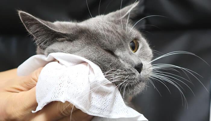 シャンプータオルを嫌がりされるがままになる猫のモモ