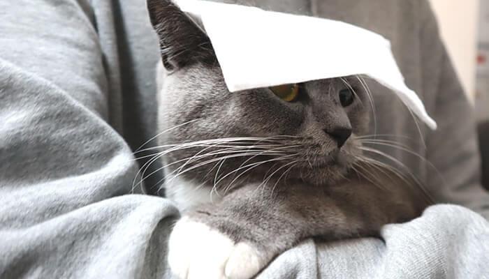 シャンプータオルを頭に乗せられる猫のモモ