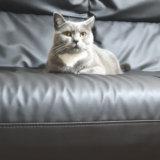 ソファーでくつろぐ猫のモモ