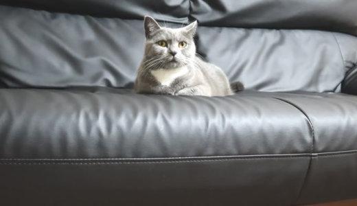 三人掛けソファーを占領する猫|ブリティッシュショートヘア