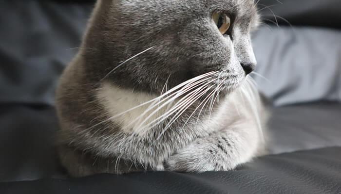 香箱座りをしてリラックスする猫のモモ