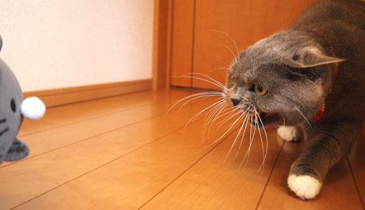 【動画】猫のぬいぐにブチ切れるモモ