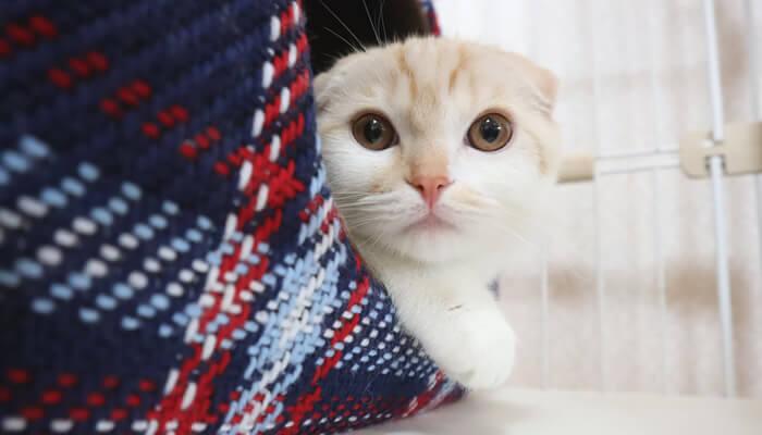 先住猫をベッドから見つめる新入り猫のレオ