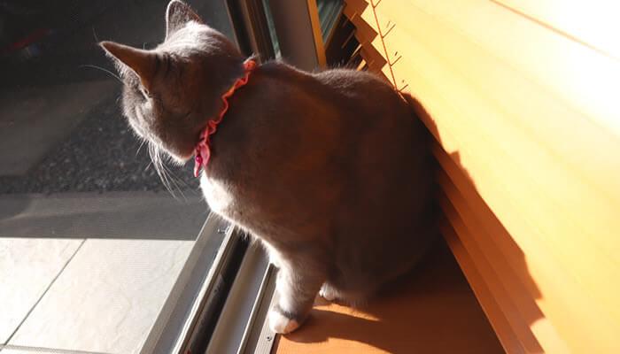 ニャルソックする自宅警備猫のモモ