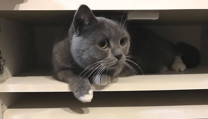 棚の中に入る猫のモモ