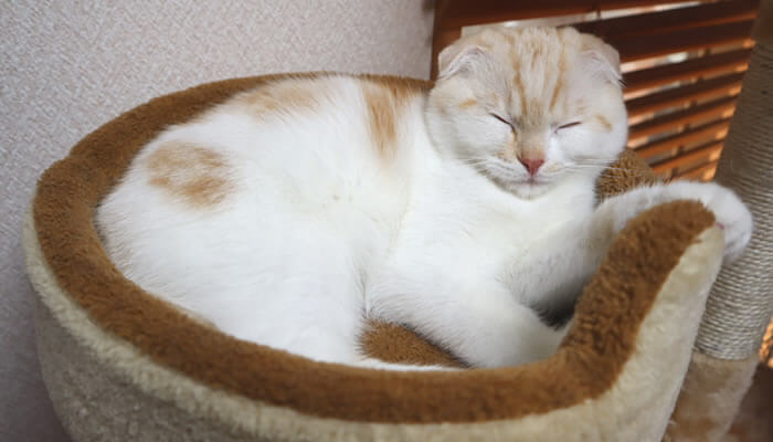 先住猫のベッドで寝る新入り猫のレオ