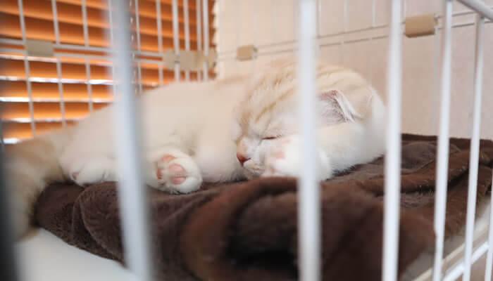 ケージでお昼寝をするスコティッシュフォールドのレオ