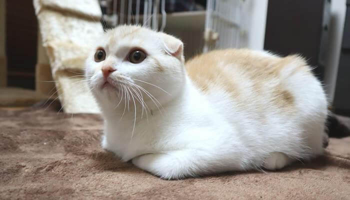 スコティッシュフォールド折れ耳猫のレオ