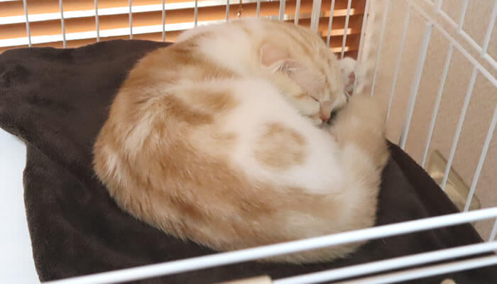 ケージで寝るスコティッシュフォールドの猫レオ