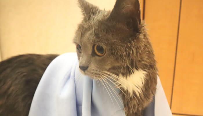 お風呂上りの猫のモモと吸水タオル