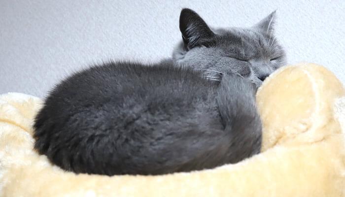 新しいキャットタワーのベッドがお気に入りの猫のモモ