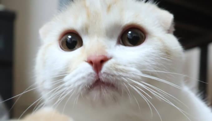 新入り猫スコティッシュのレオ