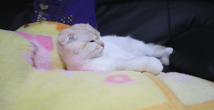 先住猫モモの毛布で寝る新入り猫レオ