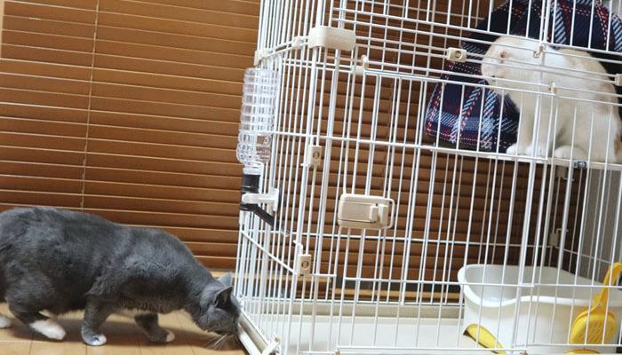 ケージに入った新入り猫レオに気付かない先住猫モモ