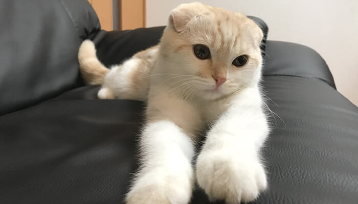 ソファーで寛ぐスコティッシュフォールドのレオ