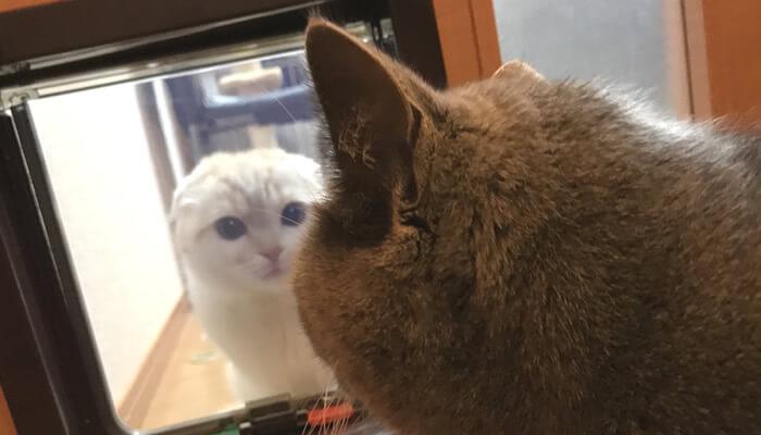 猫ドア越しに急接近で対面する先住猫と新入り猫