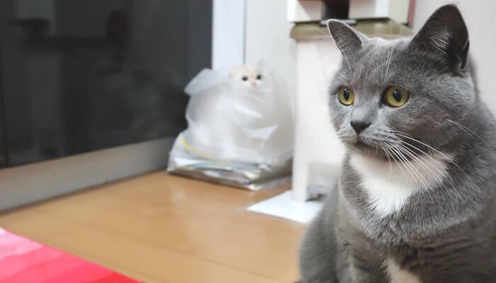 袋の中に入って先住猫を見つめる新入り猫