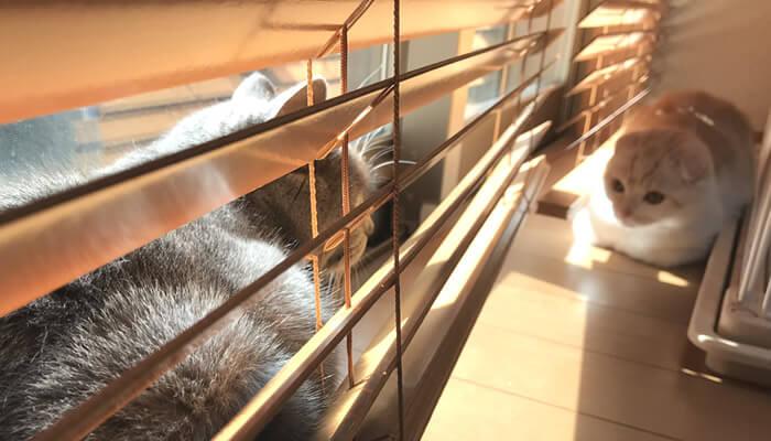 ブラインド越しに見つめ合う先住猫と新入り猫