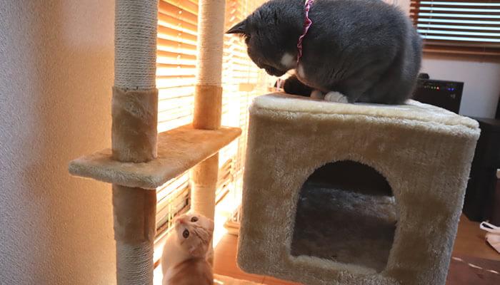 キャットタワーの上から新入り猫を見つめる先住猫