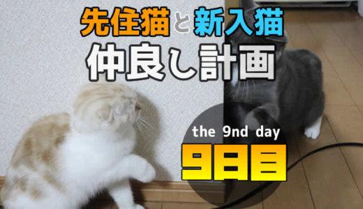 【多頭飼い9日目】先住猫と新入り猫が初めての猫パンチでケンカ挨拶!?