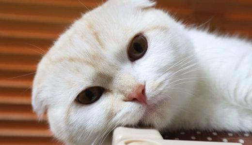 【猫の去勢手術後2日目】体調不良?餌を食べて吐く|スコティッシュフォールド